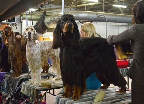 irish setter dog show 17 best images about westminster kennel club dog show on