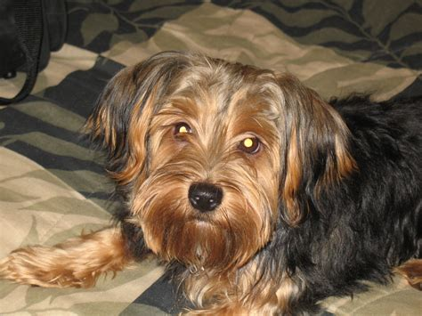 standard size yorkie puppies for sale standard size of terrier dogs in our photo
