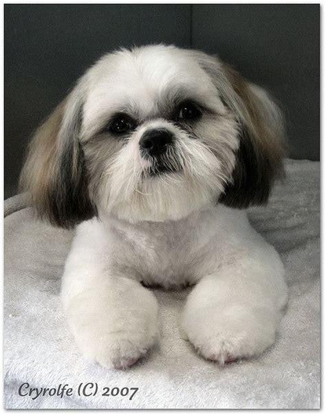 list of shih haircut love this cut hair styles pinterest dog shih tzus
