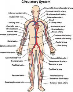 anatomy physiology circulatory system human anatomy library
