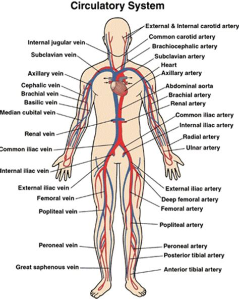 What Is Circulation Section by Anatomy Physiology Circulatory System Human Anatomy Library