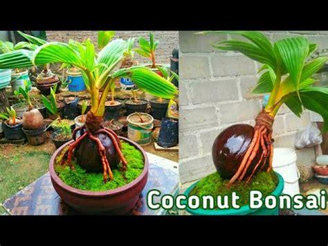 Bonsai Kelapa Pemula Blogger Bonsai