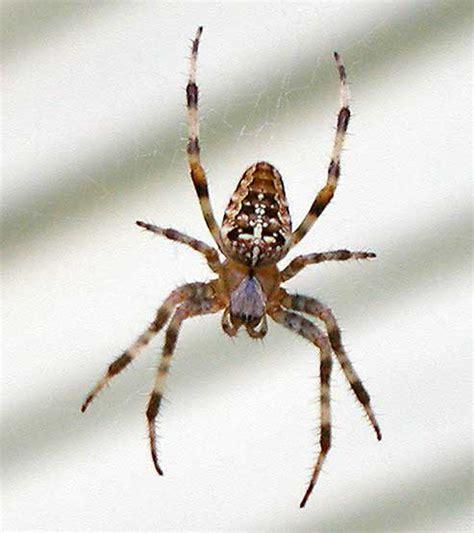 Garden Spider Id Pest Identification Common Spider Pests