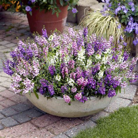 Flowers For Hanging Planters by Angelonia Plants Serena Mix Flowers For Hanging Baskets Flower Plants Flowers Garden