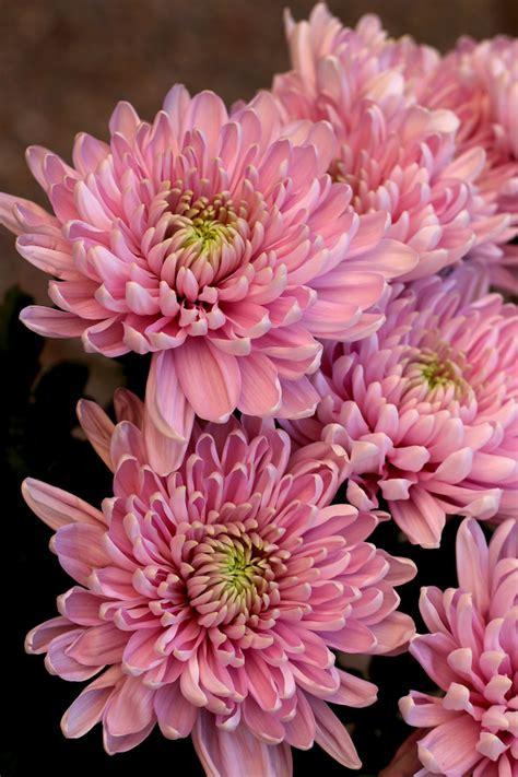 mum flower arrangement pink jpeg chrysanthemum fables and flora