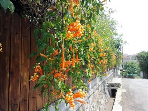 Tanaman Jade Vine memperindah pagar dinding pergola dengan tanaman rambat
