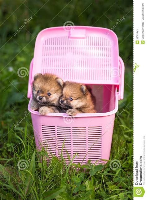 pomeranian crate two pomeranian puppy in a pink crate stock photography image 32063442