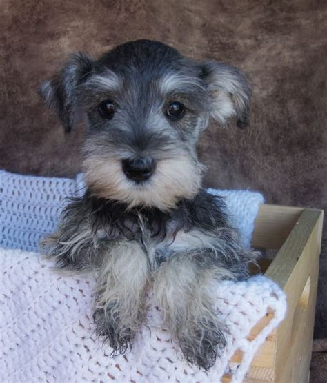 salt and pepper schnauzer puppy miniature schnauzer puppies for sale salt and pepper color