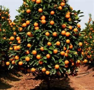 florida fruit trees for sale valincia orange naples florida