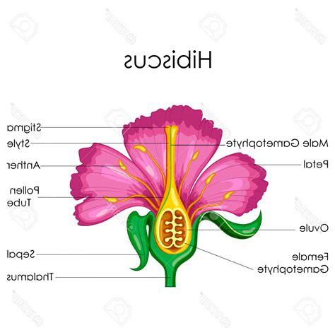 floral diagram of hibiscus hibiscus flower parts diagram 28 images bract plant