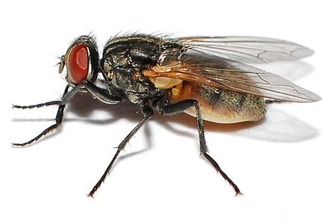 Flies In House by House Fly