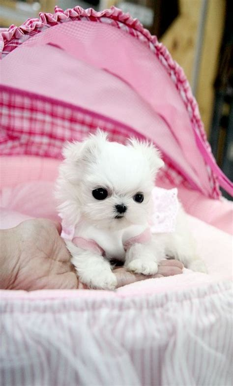 I Soooo Want This Only 25available At Seph by Best 25 Teacup Maltese Puppies Ideas On