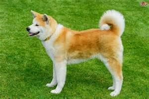 Akita Dog Breed Information, Buying Advice, Photos and ...