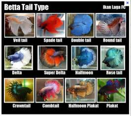 Different types of betta fish   Betta fish care tips and fun facts