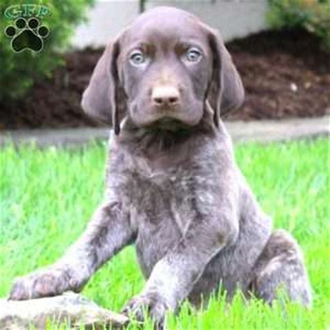 german shorthaired pointer puppies ny german shorthaired pointer puppy images om hair