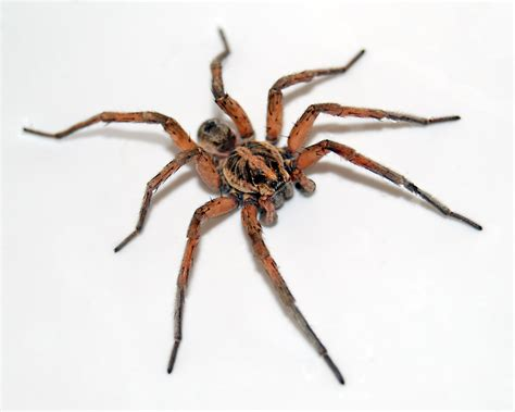 spiders wolf spider innovative pest management
