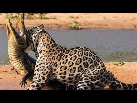jaguar hunts crocodile jaguar hunt crocodile in the water