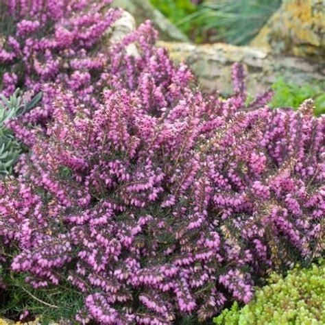 piante in vaso invernali piante invernali da balcone 10 idee da copiare donnaclick