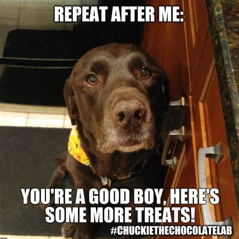 Chocolate Lab Meme - how to train your human dogs doglovers funny cute