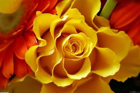 wallpaper bunga mawar kuning 50 wallpaper gambar bunga cantik untuk laptop