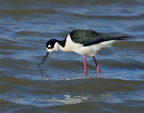 california water birds identification search results