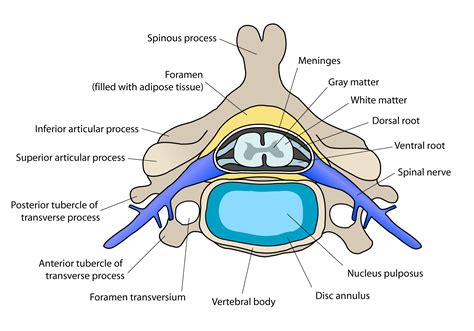 cross section of spine intervertebral disc wikipedia