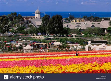 Flower Gardens In California Ranunculus Flower Gardens In At Carlsbad California Usa With Stock Photo Royalty Free