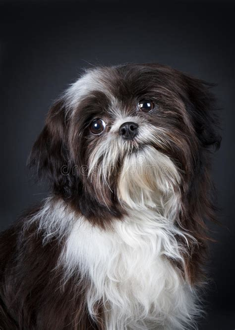 shih tzu grooming prices shih tzu stock photo image of shih obedience 31595060