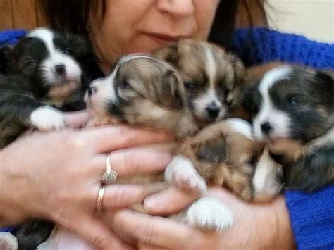 shih tzu and pomeranian puppies shih tzu pomeranian puppies for sale gloucester gloucestershire pets4homes