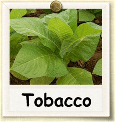 how to grow tobacco guide to growing tobacco