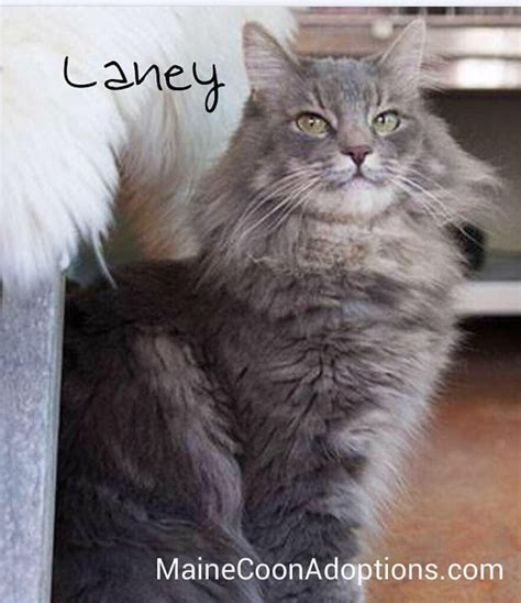 maine coon kittens bay area 261 best mca cats adopted images on adoption bay area and feather