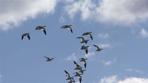 flock of seagull birds flying in the air against beautiful clouds background motion stock