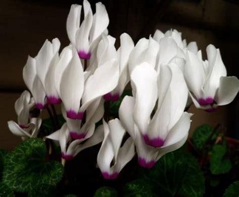 cura ciclamino in vaso coltivazione e cura ciclamino