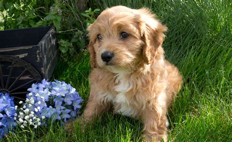 whistle hill puppies cavapoo puppies whistle hill puppies