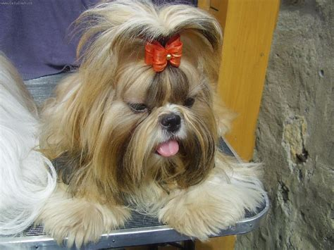 how can dogs live how do shih tzu dogs live 1001doggy