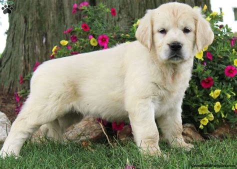 golden retrievers for adoption in pa golden retriever meet adele a puppy for adoption