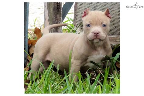 pitbull puppies for sale in san antonio tx san antonio to 7week siberian husky for sale in san breeds