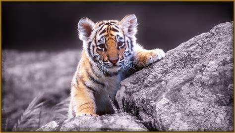 imagenes artisticas de tigres fotos de tigres bing images