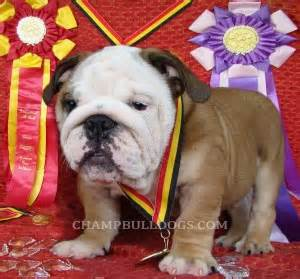 bulldog puppies for sale nj mini bulldog puppies for sale in nj