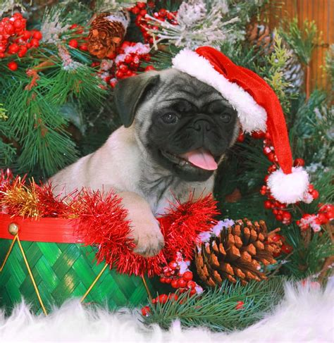 keep your dog away from these poisonous christmas plants