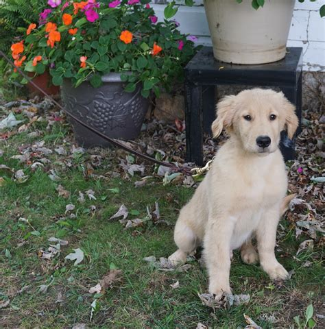 cheap puppies for sale in ma golden retriever massachusetts photo