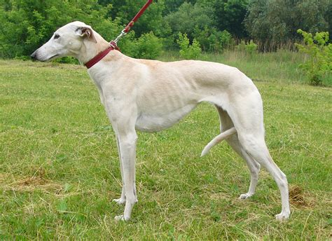 greyhound dogs greyhound on a leash wallpapers and images wallpapers pictures photos