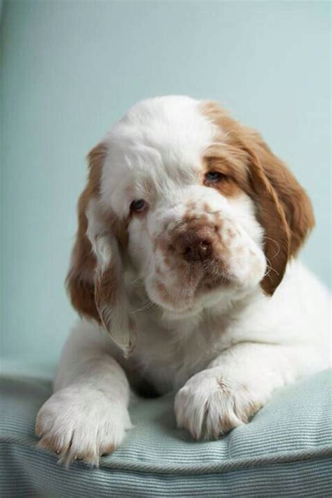clumber spaniel puppies 1000 images about so freaken on clumber spaniel newfoundland and