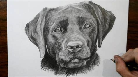 how to a lab puppy black lab puppy drawing www imgkid the image kid has it