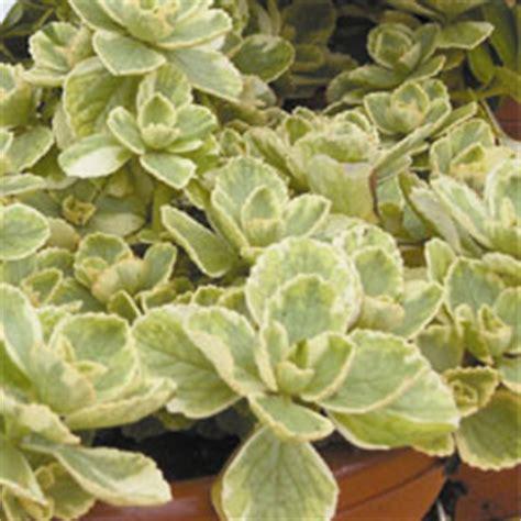 coleus canina  plug plants
