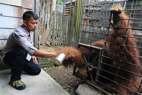 Jual Karung Goni Medan solid gold empat orangutan yang hendak dijual diamankan