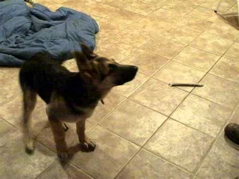3 week german shepherd puppies german shepherd puppy barking funnydog tv