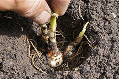 wann stauden umpflanzen blumenzwiebeln pflanzen ausgraben vermehren und