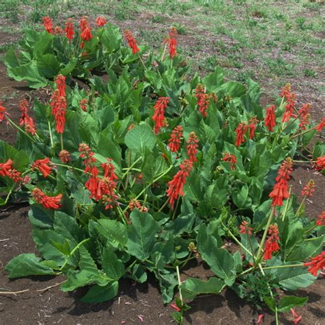 erythrina zeyheri wildflower nursery