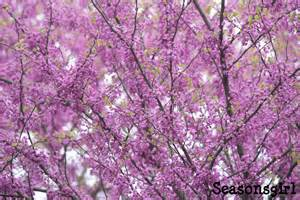 a purple tree day seasonsgirl